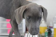 "#TEXAS #URGENT  ~ ""Xia Xia"" ID 21291653 ~ 4mos Hound mix -- Looks like a Weim 2 me -- Corinne T. Smith Animal Center (kill-shelter) 3016 Milam Dr.  Brownwood, TX 76801  info@ctsanimalcenter.org Ph 325-646 - 0617"