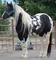 Paint Horses - my favorite. So beautiful.