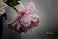 #pinkpeony #coldporcelain #sugarflowers