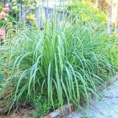 Lemon Grass will help you deter mosquitoes from the garden.  @clovergarden has plants to ship direct to you. #DirectGardening