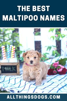 The Maltipoo is a beautiful teddy-bear like dog that is sure to please everyone. With such a loving and adaptable attitude this dog is suitable for a huge variety of homes. So there are many cute and beautiful Maltipoo names out there that you can choose from. Tell us which one you've chosen.  #maltipoonames #maltesepoodlemix #maltipoo Cute Names For Dogs, Best Dog Names, Cute Dogs, Maltese Poodle Mix, Maltipoo Dog, Cuddling, Attitude, Pup, Teddy Bear