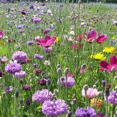 Jachère fleurie courte