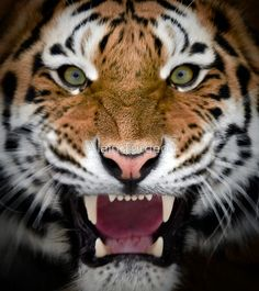 ~~Roar ~ Siberian Tiger by Alain Turgeon~~