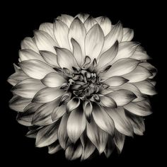 A series of Black and White Fine Art images inspired by a master gardener who spent many years cultivating this amazing flowering plant.