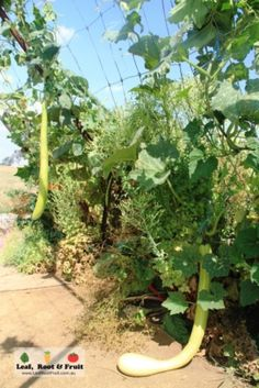 Giant Edible Trellis Project: Week Twenty-Two... New Guinea Beans - Leaf, Root & Fruit Gardening Services Hawthorn