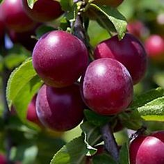 Sweet Sunshine Plum Prunus x Sweet Sunshine from Berry Nurseries- had to for the name alone planted 2014 south hedgerow. Growing Fruit Trees, Growing Tree, Types Of Plums, Prune Plum, Summer House Garden, Fruit Picture, Plum Tree, Fruit Photography, Beautiful Fruits