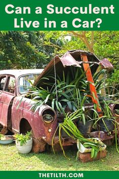 Can a Succulent Live in a Car? Living In Car, Types Of Succulents, Succulent Care, Watering Can, Canning, Live, Home Canning, Conservation
