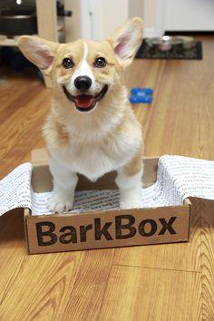 The Bark Box! Scout, cute Pembroke Welsh Corgi & sister to The Great Gatsby - via OCD: Obsessive Corgi Disorder