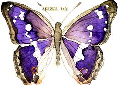ACEO ORIGINAL WATERCOLOR BUTTERFLY [Purple Emperor]
