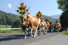 Tradition in Semsales: Desalpes, when the cows come back from their holiday in the mountain. You can see why I'm inspired by cows in my sketches. Living In Europe, My Heritage, Animals Images, People Of The World, Eastern Europe, Farm Animals, Passport, Germany, Bloom