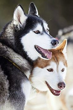 Cazar de #Perros #Lobos Siberianos #Foto tomada en #Alaska #USA ...