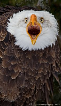 The Scream - Captive female Bald Eagle, Canadian Raptor Conservancy