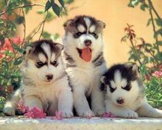 Google Image Result for http://huskydogblog.com/wp-content/uploads/2011/03/siberian-husky-puppy.jpg