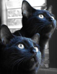 Cat photograph jet black inky indigo cat by BlackCatPhotographs