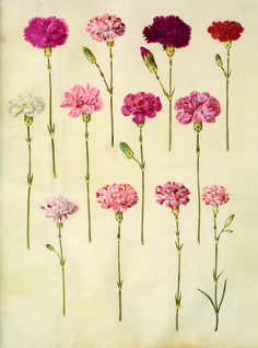 Carnations 'Dianthus Caryophyllus' from the Gottorfer Codex, a collection of gouache paintings on vellum depicting flowers of the garden of Schloss Gottorf, Denmark, created between 1649 and 1659 Carnation Flower Tattoo, Red Carnation, Pink Carnations, Carnation Drawing, Carnation Colors, Flor Tattoo, Rosa Tattoo, Botanical Drawings, Botanical Prints