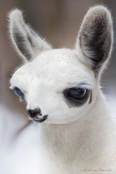 Cutest Lama  (by Adrian Borda on 500px)