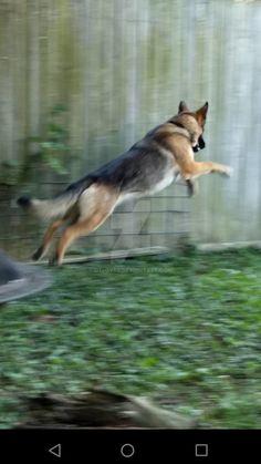 Sass leaping by OTlover on DeviantArt Black Dogs Breeds, Dog Breeds, Corgi, Deviantart, Artist, Animals, Corgis, Animales, Animaux