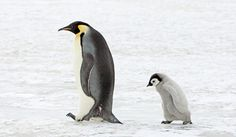 A walking Emperor Penguin followed by its chick on Snow Hill Island, a snow-capped island in the Antarctic Peninsula, Antarctica
