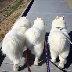 3 Samoyeds walking side by side #FluffyButts