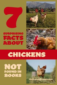 Raising chickens can be quite the challenge. Why not learn a few surprising things about these feathered friends? | The Organic Prepper #raisingchickens #chickens #homesteading #livestock #farming Keeping Chickens, Raising Chickens, Chicken Facts, Survival Quotes, Survival Kit, Chicken Eating, Not Found, Baby Chicks, Wilderness Survival