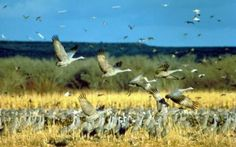 Sandhill Cranes of Willcox, Arizona: A Feast for the Eyes in United States Of America, travel photos of Sandhill Cranes of Willcox, Arizona: A Feast for the Eyes | Hellotravel