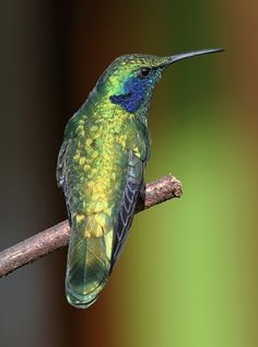 Because of their iridescent feathers, the color of Green Violet-ears can vary greatly depending on the light and angle of view, from a dull greenish gray in dim light to a brilliant emerald green, metallic blue-green, or dazzling golden green in bright light.