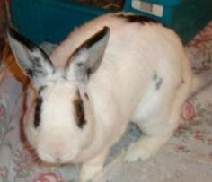 CLEO - female - Hotot ... Originally rescued from a farm hording situation - she was saved from slaughter - Cleo is VERY smart, she knows her name and uses the litter box.  Spayed