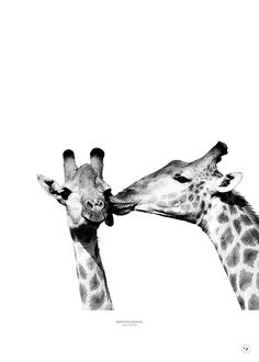 Giraffes kissing-1 Giraffes, Kissing, Poster, Animals, Pictures, Animales, Animaux, Animal, Animais