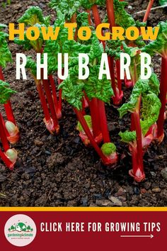 Rhubarb is so delicious and easy to grow - you can't miss having it in your garden! Learn important care and maintenance tips here to grow an abundance of rhubarb.  #gardening #gardeningtips #permaculture  #homesteadgarden #organicgardening #homesteading #urbangardening #vegetablegardening #growingfood #gardening4climate #gardeningforclimate