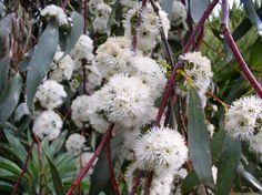 Eucalyptus pauciflora subsp. niphophila - Alpine Snow Gum