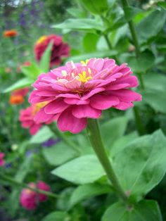 Remember to plant zinnias somewhere this year.