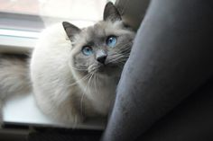 Siberian cat, Neva Masquerade