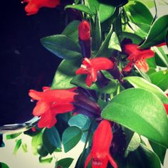Lipstick plants are in full bloom in a Portsmouth clients office!