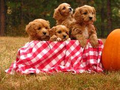 7 week old Cavapoo Puppies (boys~Sean, Finn, Fergus & Liam) www.pinewoodcavapoos.com Find us on Facebook as Pinewood Kennels.