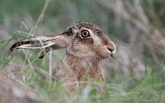BROWN HARE . ( EXPLORE ) by sparrow 4, via Flickr
