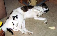 We think it's safe to say that Dipsy is dog friendly!  Dipsy loves the resident dog in his foster home!! #rescue #cat