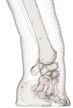 elephant foot... - (x-ray)(xray)
