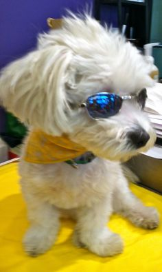 Boo wearing his new cool K9 Optix! They are the summer fashion accessory must have!