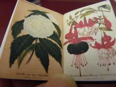 A double page spread from the 3 volumes of Victorian German gardening magazines. Oleander and fuschia: love them.