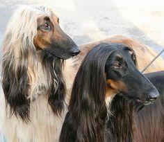 ► Afgano ◄ Todo lo que necesitas saber sobre esta raza. Fotos y Videos. http://www.planetacan.com/razas-de-perros/1439/afgano
