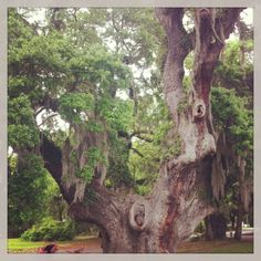 1,000 year old Live Oak - love these ancient trees