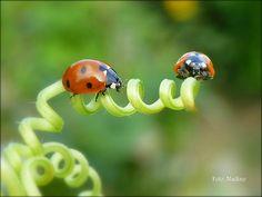 """LadyBugs on Tendril, """"Hold on! - I'm on my way..."""""""