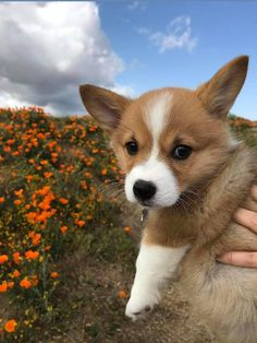 This cute corgi puppy will make you amazed. Dogs are wonderful friends. Cute Puppies, Cute Dogs, Dogs And Puppies, Doggies, Corgi Dog, Dog Cat, Husky Puppy, Pomeranian Puppy, Animals And Pets