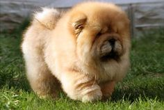Chows are soooooo cute