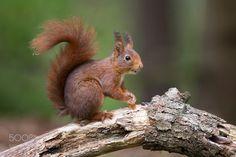 Red squirrel by siebewiersma via http://ift.tt/2pbBjGu