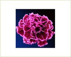Nobbio Burgundy - Standard Carnation