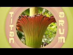 ▶ The chemistry of the corpse flower's stink - Bytesize Science - YouTube