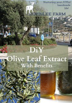 Olive leaves are anti-microbial, anti-viral, anti-inflammatory, and antiseptic…