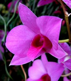 Dendrobium (Cane) Orchid by Puzzler4879, via Flickr