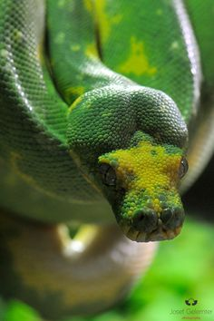Green Tree Python. Mom, Jules this ones for y'all! Amazon jungle tour all girls trip! Hope to see one of these! Lol!